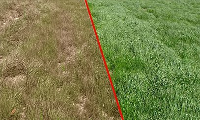dried grass healthy grass before after