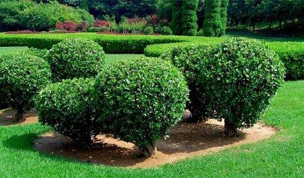 healthy shrubs